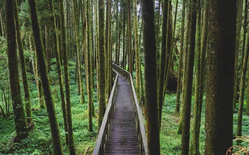 Sảng khoái nhất khi tới miền Nam Đài Loan đó là vừa đi bộ trong rừng thông, vừa được hít thở không khí trong lành tại khu thắng cảnh quốc gia Alishan