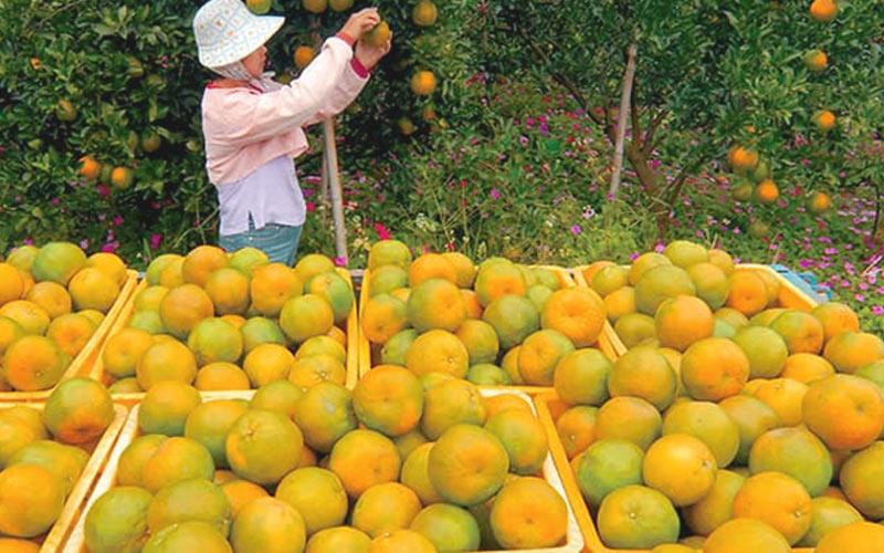 Quýt, bơ và xoài là những loại đặc sản trái cây miền Nam Đài Loan thơm ngon nhất